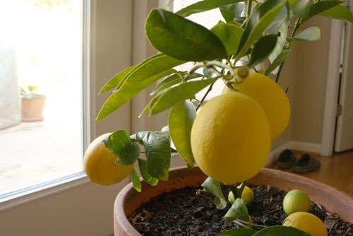 grow Meyer lemons inside